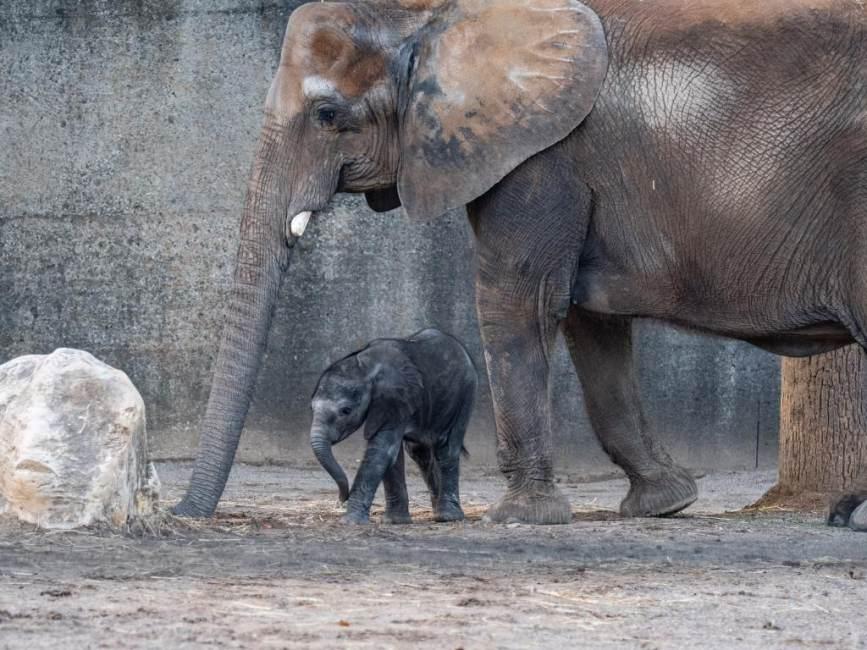 Louisville Zoo Elephant Mikki and Calf Make Public Debut